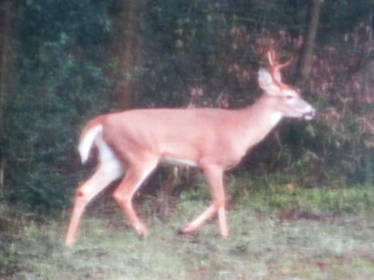 Deer 3 (2)