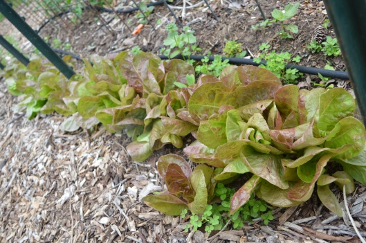 lettuce garden homeschool review summer