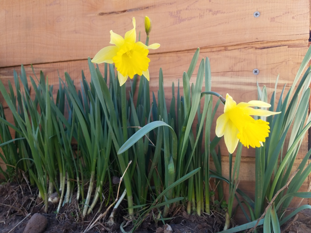 daffodils spring garden growth